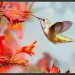 Fototapeta - Lot kolibra A0-XXLNEW010356